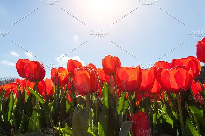 Tulips. Beautiful colorful flowers - Nature