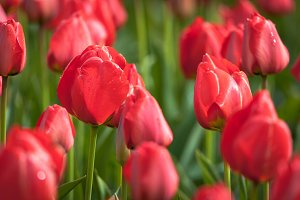 Tulips. Beautiful colorful flowers