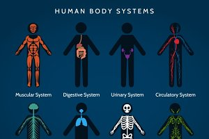 Human body systems anatomy