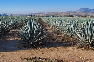 Tequila landscape agave