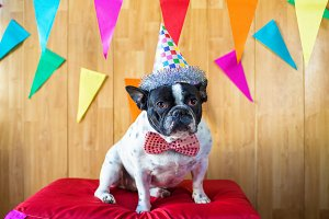 French bulldog dressed for birthday