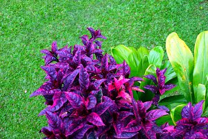 Tropical Green and Purple Leaves