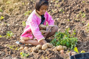 Little girl harvesting potatoes.