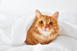 Cute ginger cat in bed