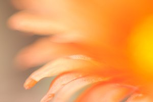 Orange flower Essence #1