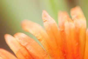 Orange flower Essence #2