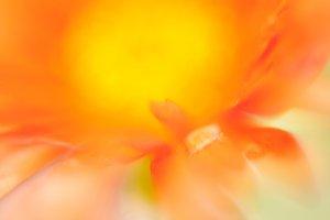 Orange flower Essence #4