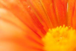 Orange flower Essence #5
