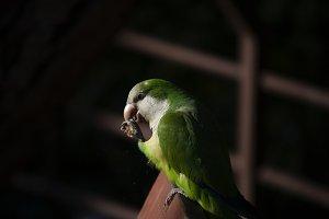 Green Parrot #7