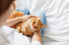 Ginger cat lies on woman's hands.