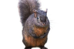 Pretty black squirrel