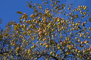Ripe apples against blue sky.