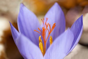 Blue flower crocus