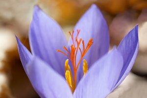 Blue flower crocus
