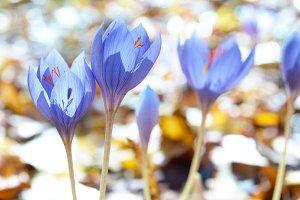 Blue flower crocuses