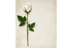Single White Rose