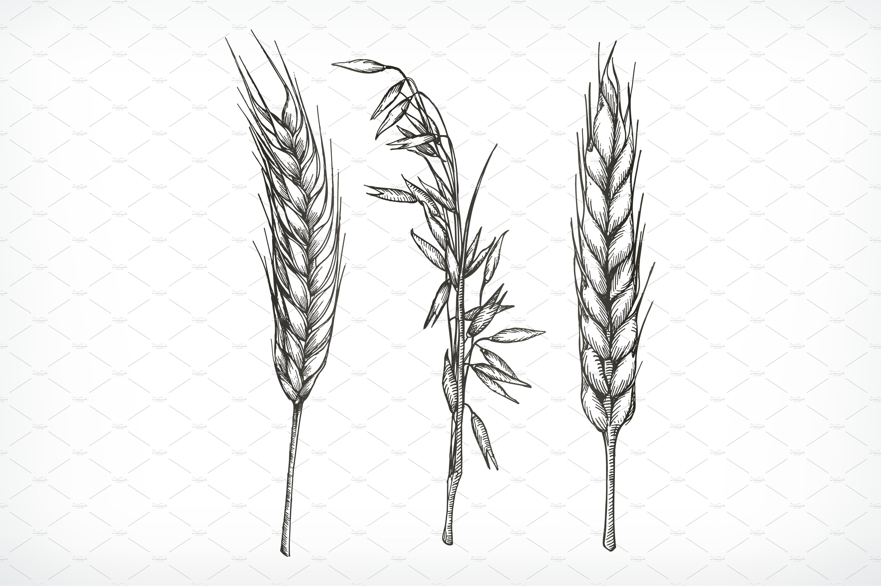 Drawing Lines With Css : Crops wheat and oat sketches illustrations creative