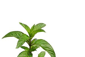 Peppermint with copy space
