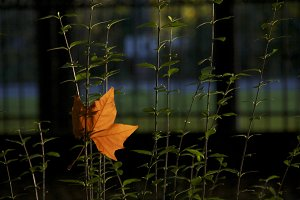 Caught leaf
