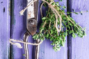 Thyme and scissors on violet wooden table