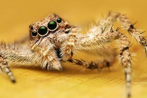 Macro of Jumping Spider