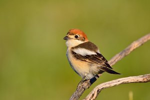 Woodchat shrike.