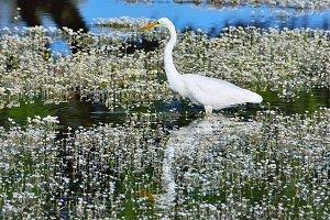 Great egret.