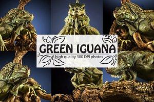 Green iguana.