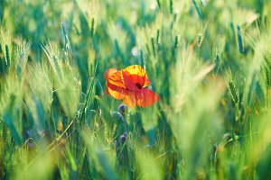 Red poppy on the green field