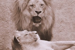 Lion with lioness.