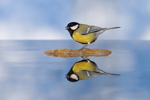 Great tit in water.