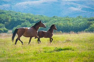 Running dark bay horses on a meadow