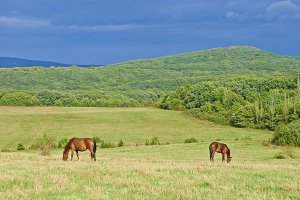 Dark bay horses in a meadow