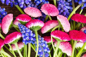 Muscari and Daisy Flowers