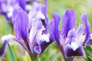Flowerbed of purple irises