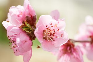 Almond pink flowers