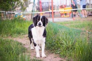 Portrait of a shepherd dog