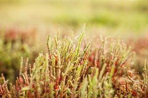 Salicornia plant