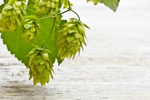 Cones of hop