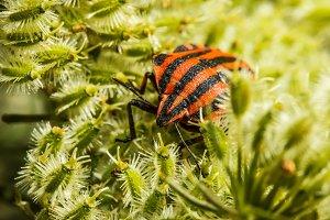 Black and red bedbug