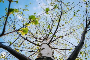 young tender birch leaves on branches with blue sky view in spring day, Russia