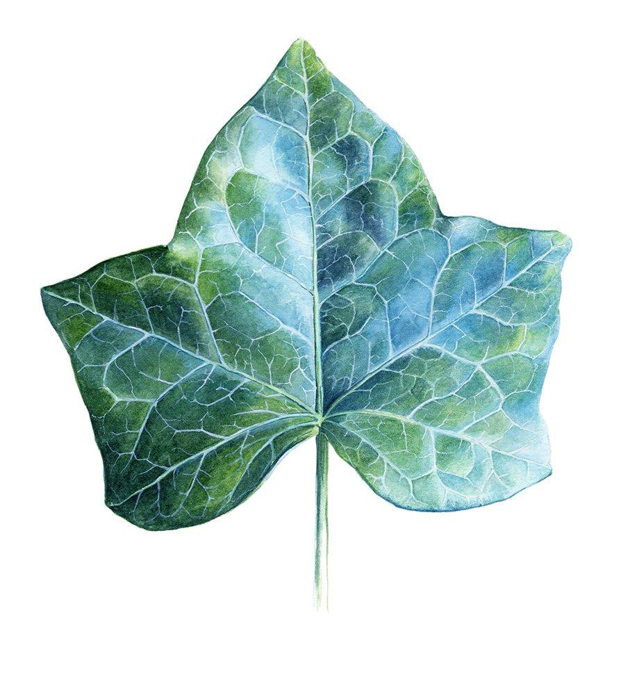 Watercolor Illustration Ivy Leaf.