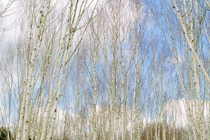 Silver Birch Trees with blue sky