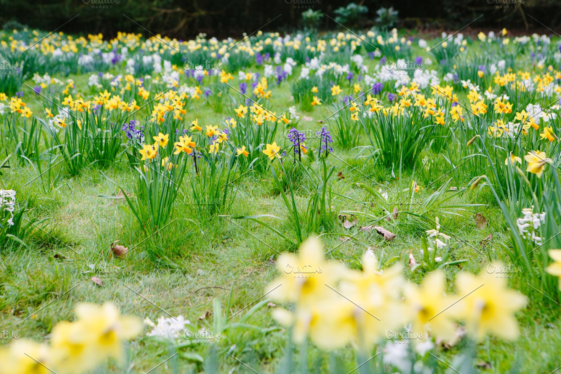 Spring Flowers Daffodils Hyacinth High Quality Nature Stock
