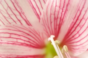 sweet pink petal lily in soft color