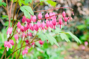 Bleeding Heart Flower, Pink