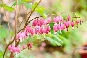 Bleeding Heart Flower Frond