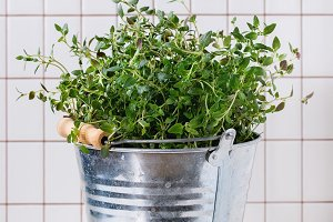 Fresh thyme in metal pot