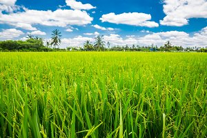 Fresh green paddy rice field