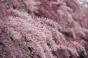 Fluffy pink bush